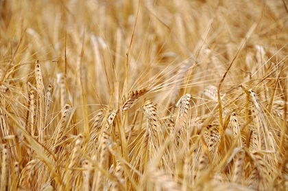 Benefits of Barley in Hindi, Barley in Hindi