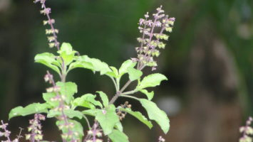 Tulsi Ke Fayde, Tulsi Ke Beej Ke Fayde, Basil Benefits in Hindi