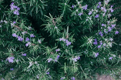 Rosemary and Its Benefits in Hindi
