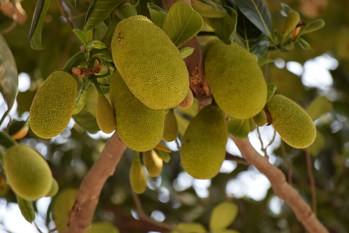 Kathal Khane Ke Fayde in Hindi, Benefits of Jackfruit in Hindi