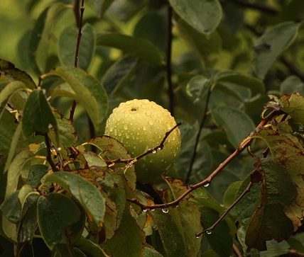 Guava Leaves Benefits in Hindi