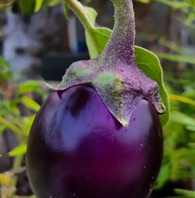 Benefits of Brinjal in Hindi