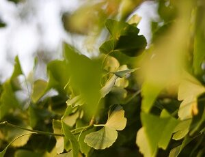 Ginkgo Biloba in Hindi
